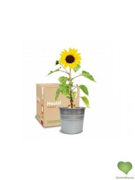 Urbanscape: darilni komplet Hvala, sončnica